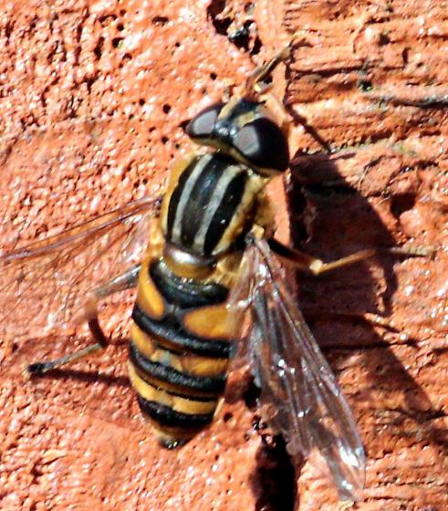 Helophilus? - Helophilus fasciatus - female