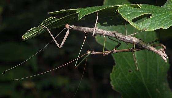 Diapheromera femorata - Northern Walkingstick? - Diapheromera femorata - male - female