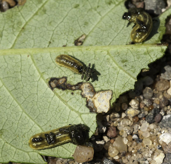 Blepharida larvae - Blepharida rhois