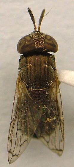 Fly - Orthonevra nitida - female