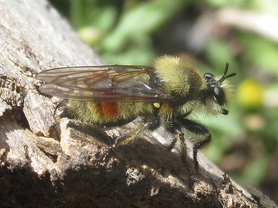 Asilidae - Laphria fernaldi