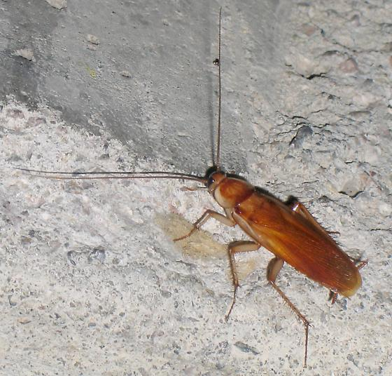 Turkestan Cockroach - Shelfordella lateralis - male