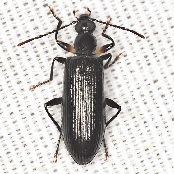 Darkling Beetle - Statira