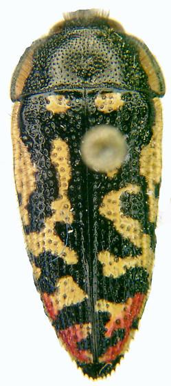 Acmaeodera disjuncta