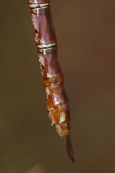 closeup for the guide - Anax junius - female