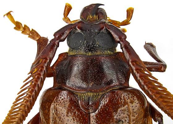 Prionus fissicornis Haldeman - Prionus fissicornis - male