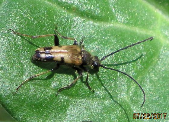 Longhorn beetle - Dorcasina matthewsi