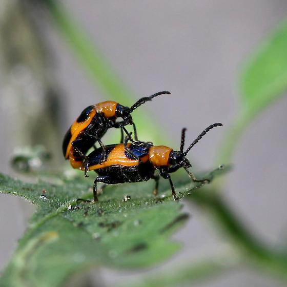 Beetle - Lema solani