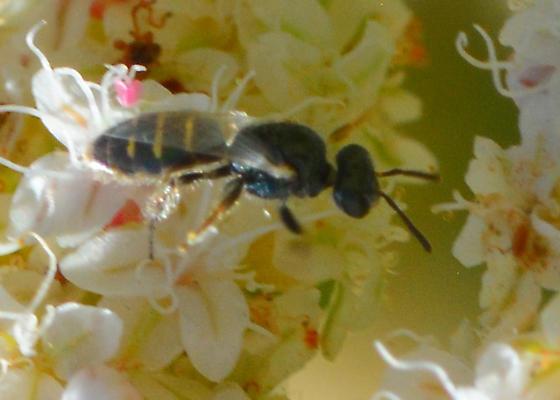 Marshian Bee #1 - Perdita