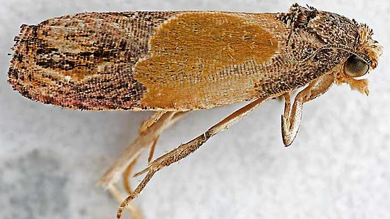 moth - Eumarozia malachitana - female
