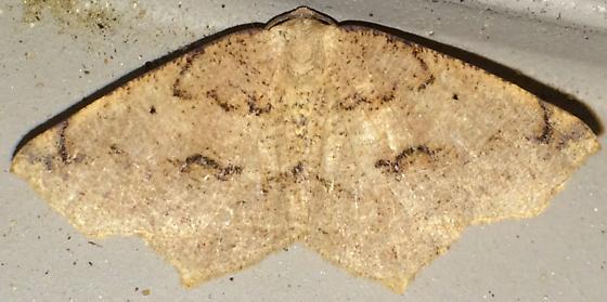 Geometer - Antepione thisoaria