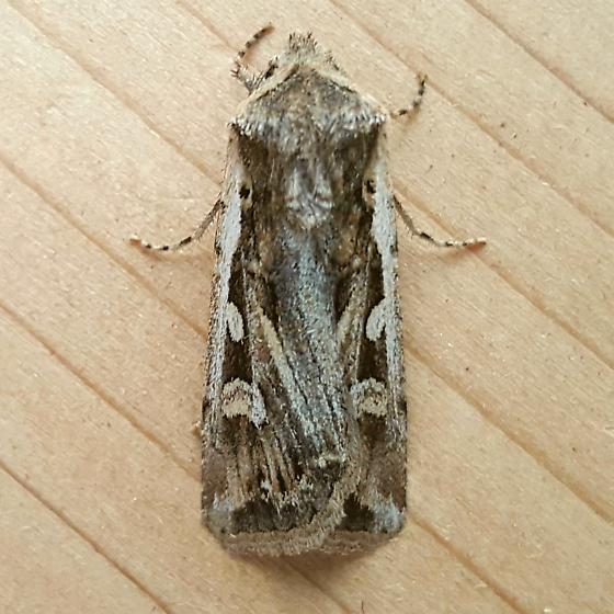 Noctuidae: Euxoa auxiliaris - Euxoa olivia
