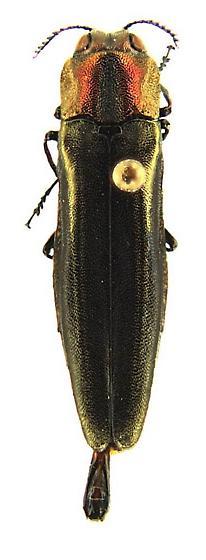 Agrilus concinnus Horn - Agrilus concinnus - male