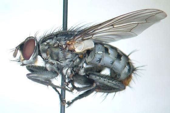 Sarcophagid 01 - Boettcheria bisetosa - male