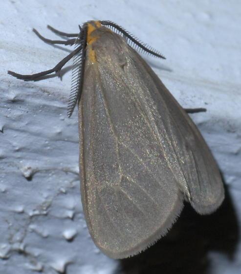 Gray moth with a yellow head - Euchaetes egle
