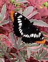 Gig Harbor Washington Unidentified Butterfly - Limenitis lorquini
