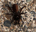 Huge brown trap door or funnel spider - Antrodiaetus