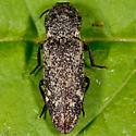 Unknown Click Beetle - Danosoma brevicorne