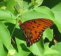 Gulf Fritillary - Agraulis vanillae - Agraulis vanillae - female