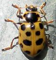 13 spots Beetle 150913 - Hippodamia tredecimpunctata