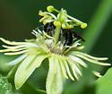 Anthemurgus passiflorae