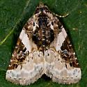 Unknown Moth - Pseudeustrotia carneola