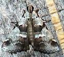 9/20/18 moth 2 - Tallula atrifascialis