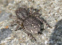 Jumping Spider Gray 2 - Habronattus hirsutus