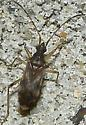 Dirt-colored Seed Bug - Ozophora salsaverdeae