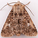 Unknown Noctuid - Properigea albimacula
