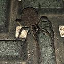 Lycosidae - Tigrosa