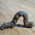 The Half-Wing (Phigalia titea) - Phigalia titea