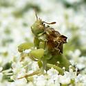 Ambush bug species? - Phymata