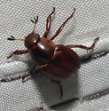 Scarab - Callistethus marginatus