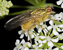Unknown fly - Scathophaga stercoraria