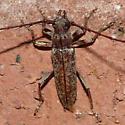Long-horned beetle - Elaphidion mucronatum