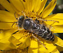 Sand Wasp sp. identification - Bembix