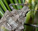 Brochymena ? - Brochymena carolinensis