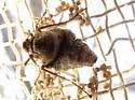 screen bug - Alsophila pometaria