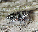 Black-and-Red Legs - Phidippus