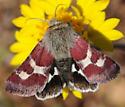 Heliothinae ? - Schinia suetus