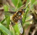 Bee fly - Bombylius mexicanus - female