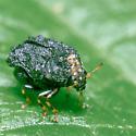 Warty leaf beetle? - Exema
