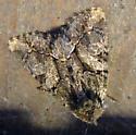 Brown Moth - Oligia divesta