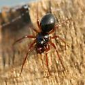 Tiny black spider - Erigone - male