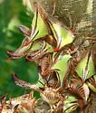 Umbonia crassicornis (Amyot & Serville) - Umbonia crassicornis - male - female