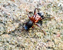 I have no idea what this is. Some sort of ant mimic. - Cyrtophorus verrucosus