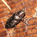 Metallic Wood-boring Beetle - Phaenops fulvoguttata - female