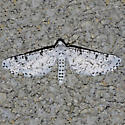 moth - Acanthotoca graefii - male