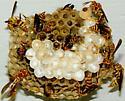 Wasp nest - Polistes exclamans